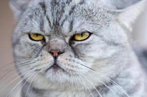 veľký korisť indickej mačička