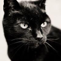 Obrovské kohúty ničí mačička